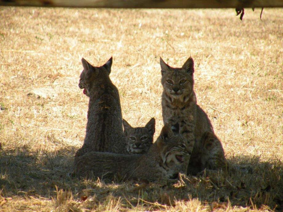Bobcat family 30 feet from back door