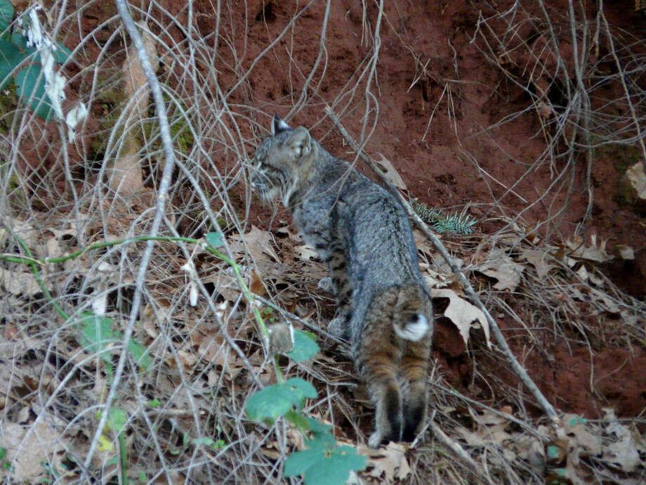 Bobcat captured in photo at Shasta Lake