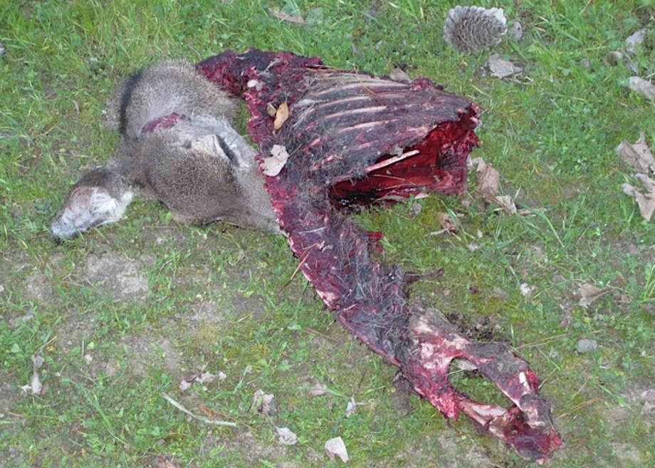 Deer carcass after mountain lion ate all it could hold