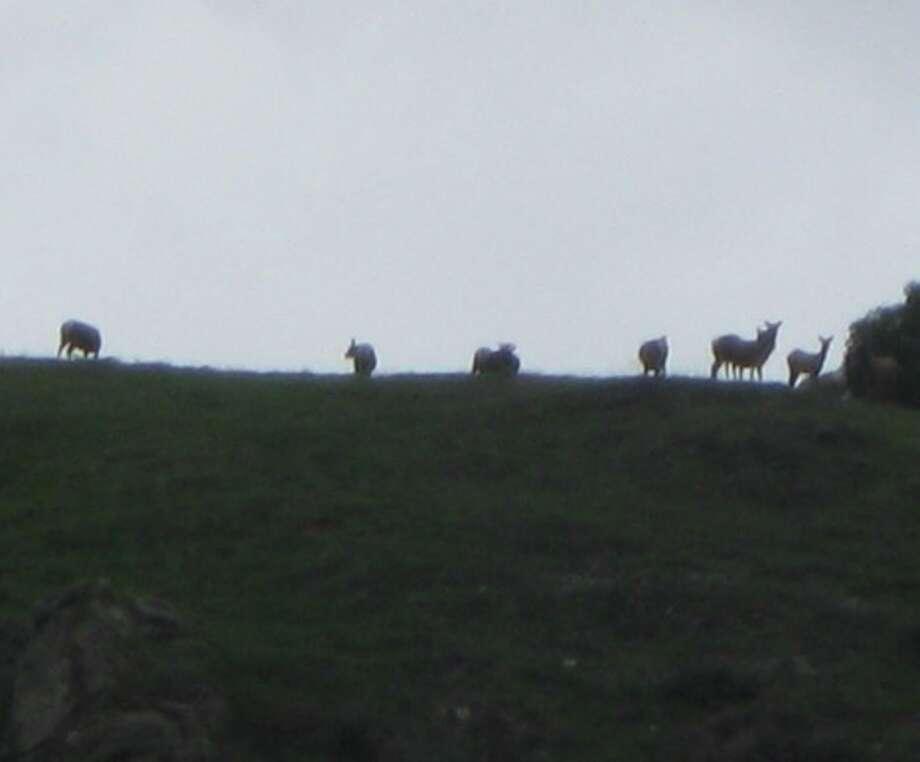 Tule elk east of Calaveras Road