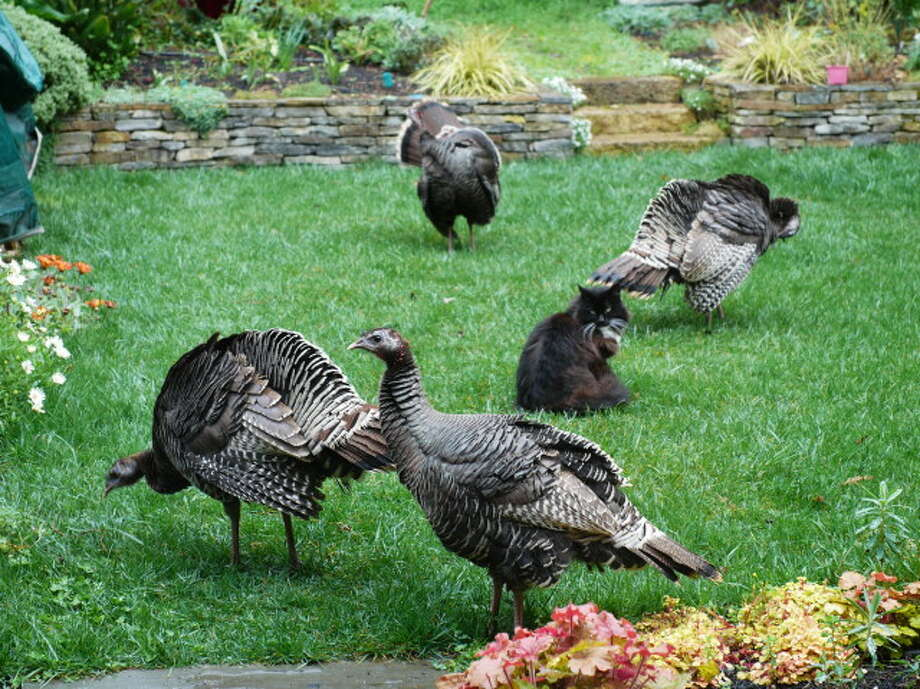 Befuddled house cat surrounded by wild turkeys in backyard