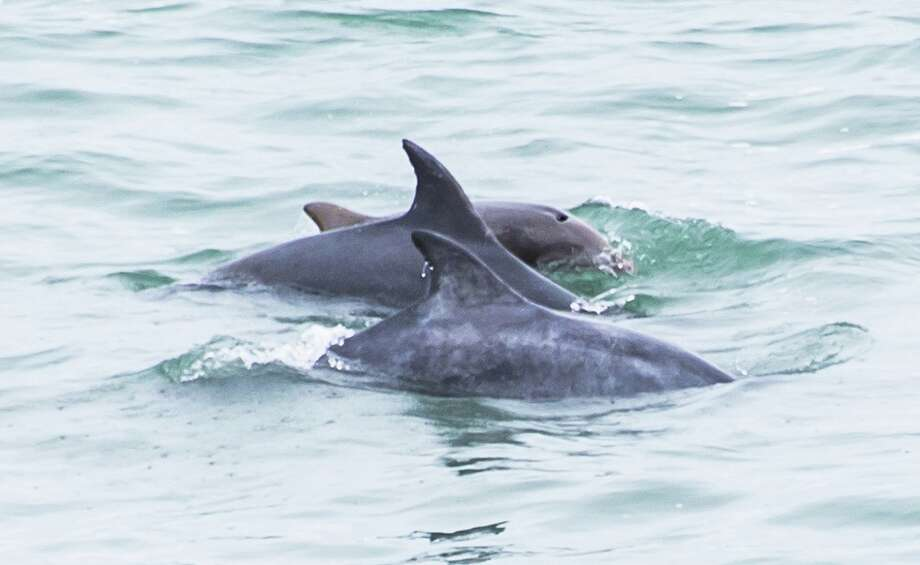 Dolphins offshore Cliff House have been putting on a show