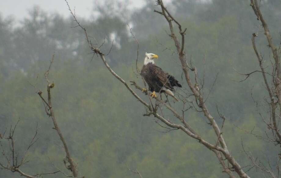 Bald eagle verified at Casa de Fruta