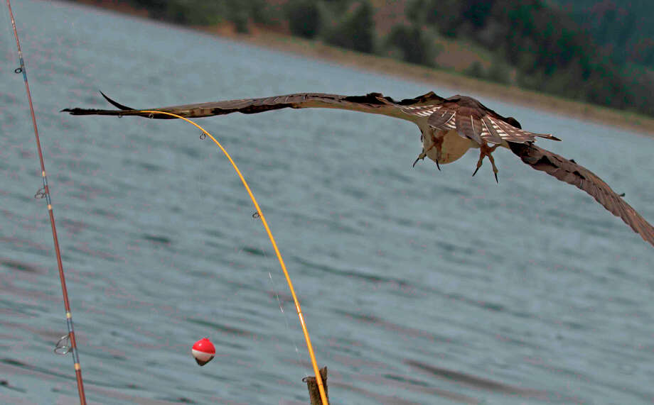 Osprey and fishing rods at Bon Tempe Lake