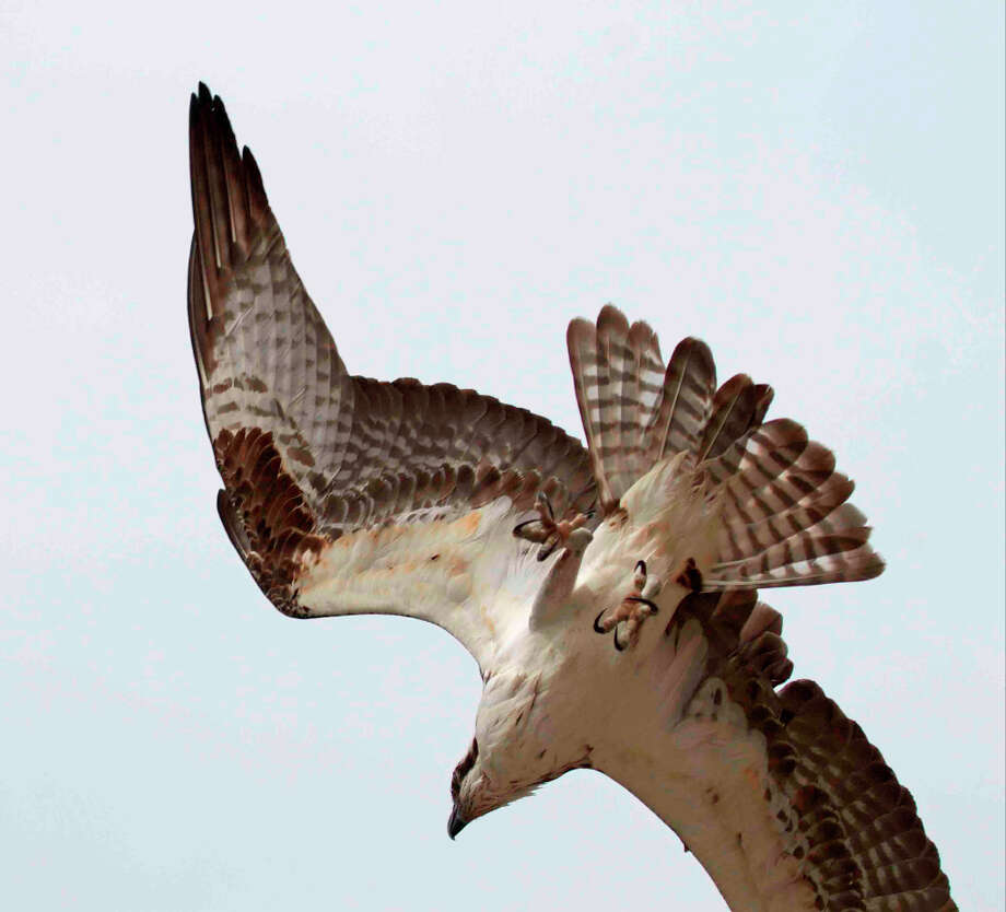 Osprey in dive -- gotta see the story of this one