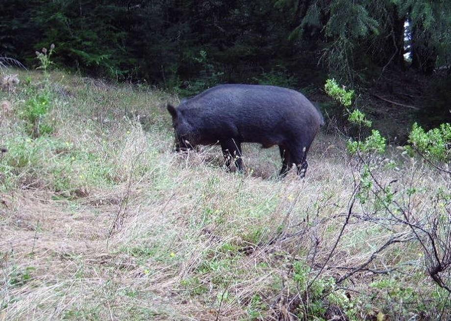 Wild pig near Skeggs Point on Peninsula