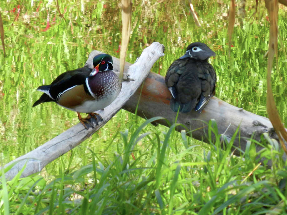 Wood ducks at Heather Farms