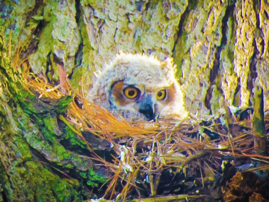 Owlet in nest in Golden Gate Park