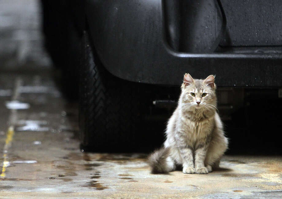 Cats in the United States destroy a median of 2.4 billion birds a year. Photo: Kin Man Hui, San Antonio Express-News