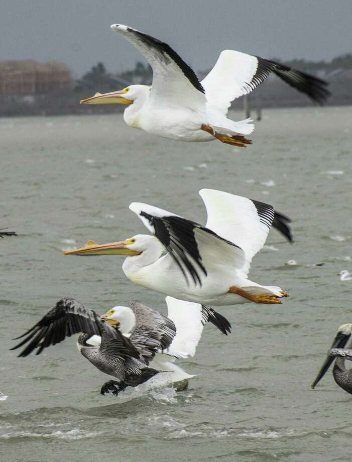 Pelicans take flight near the Texas A&M-Corpus Christi campus. It's common to spot 100 types of birds in a day.