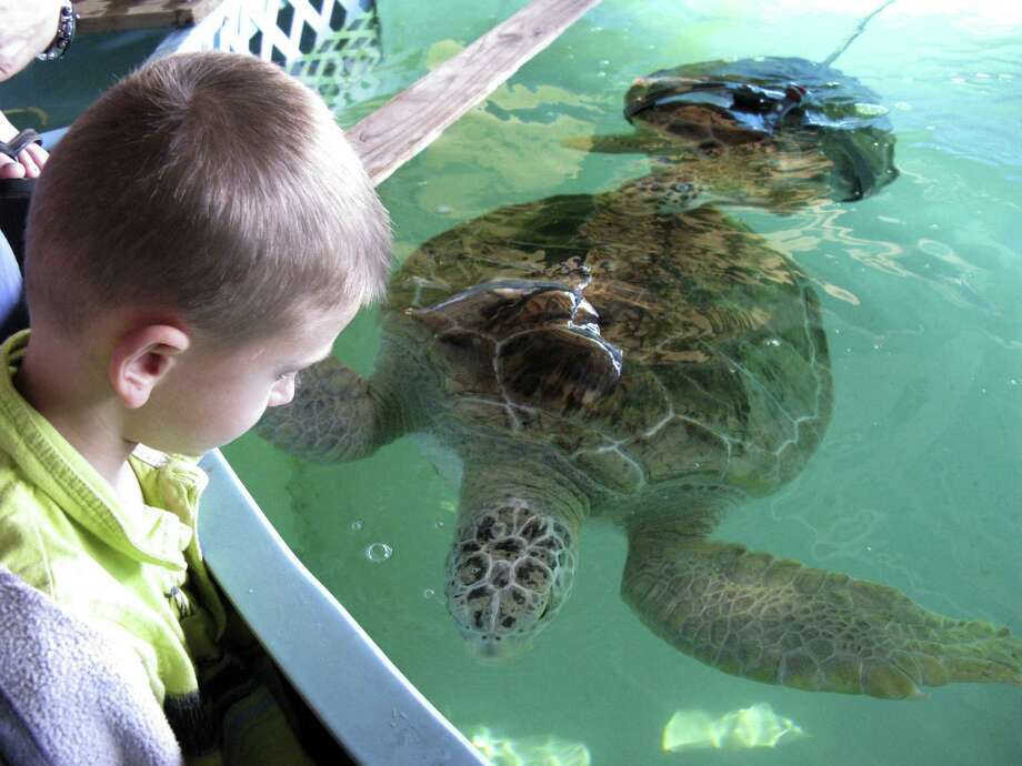 Barrett Bouslog, 7, of Boerne checks out a resident of the Sea Turtle Rescue Center on South Padre Island. Photo: Zeke MacCormack / San Antonio Express-News
