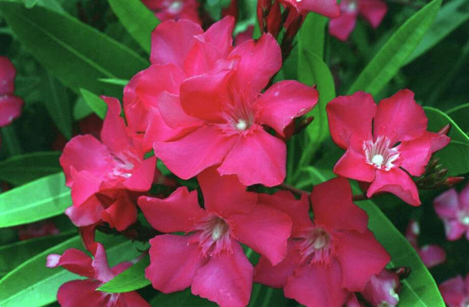 Oleanders are beautiful, low-water plants, but keep plant parts away from children and pets. Photo: E. Joseph Deering, Staff / Houston Chronicle