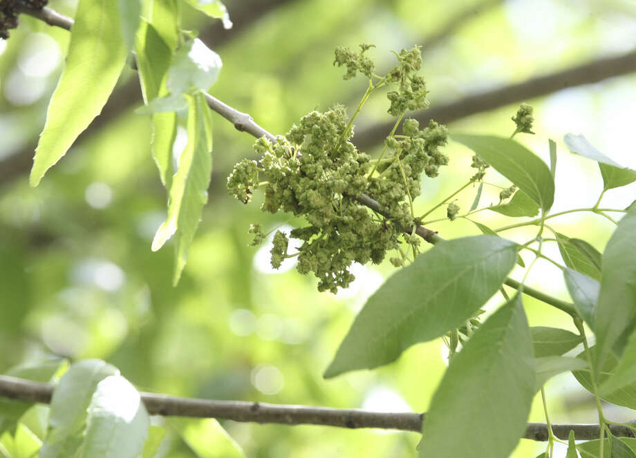 "This is what produces oak pollen. ""When you can see (the pollen), it's pretty heavy stuff,"" Dr. Paul Ratner says. Photo: Helen L. Montoya / San Antonio Express-News"