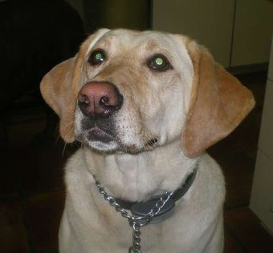 After being missing for more than three weeks, Bella, a 7-year-old golden lab, has been reunited with her Stratford owners. Bella was taken from a car parked at The Home Depot on Monday, March 11, 2013. Her Stratford family used social media and posters to find her. Photo: Contributed