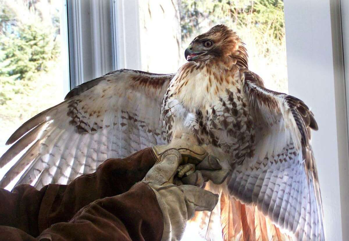 A red-tailed hawk that crashed through a screened porch in Ridgefield, but was released unharmed. The hawks are increasingly common in the state.