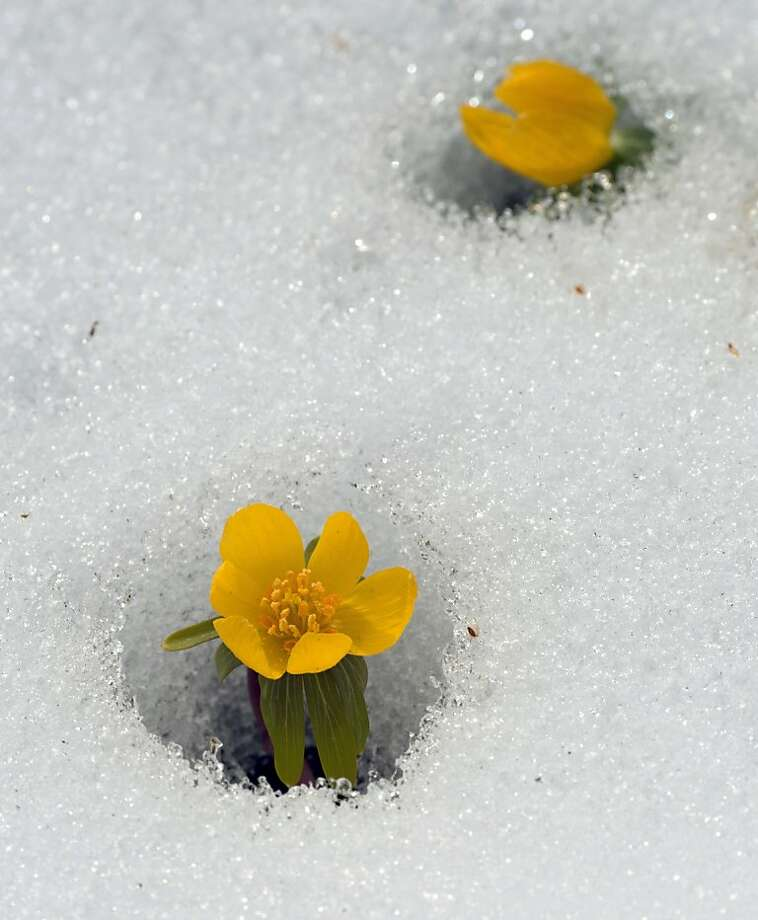 "Spring is here, you said. Let's sprout, you said. Now look at us: Buttercups blossom through the spring snow in Berlin's ""Gardens of the World."" Photo: Soeren Stache, AFP/Getty Images"