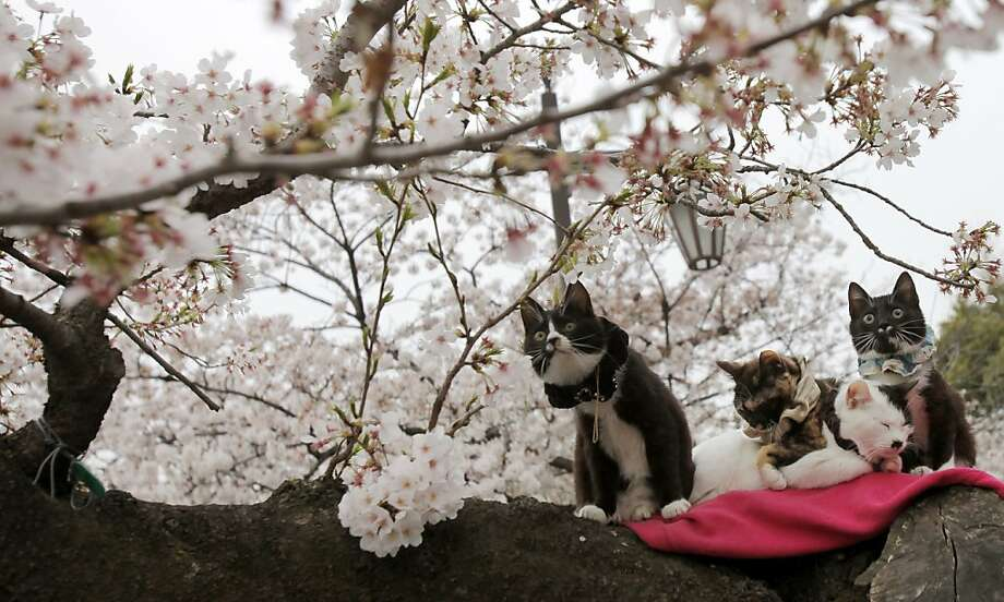 Sneeze index - high:Today's allergy forecast for Tokyo calls for increasing cherry blossom pollen and occasional cat dander showers. Photo: Shuji Kajiyama, Associated Press