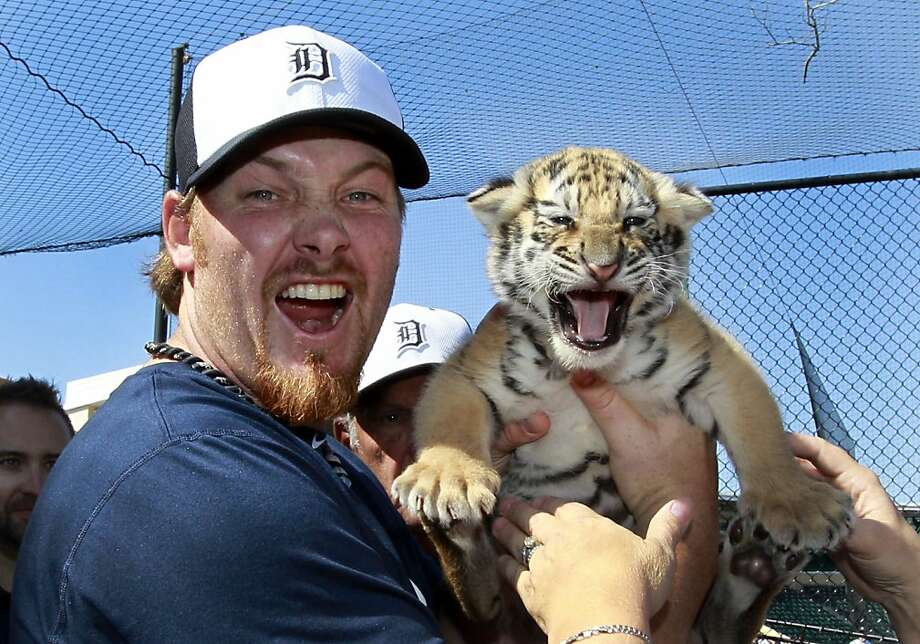After a sheep-like effort against the Giants in the World Series, the Detroit Tigers are taking ferocity lessons from their namesakes. Here, Rocky, a resident of Dade City Wild Things Zoo, instructs relief pitcher Phil Coke in the art of roaring in Lakeland, Fla. Photo: Carlos Osorio, Associated Press