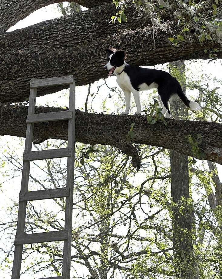 Bough-wow! If you think Frenchy used the ladder, you're barking up the wrong tree. (Columbus, Texas.) Photo: Melissa Phillip, Houston Chronicle