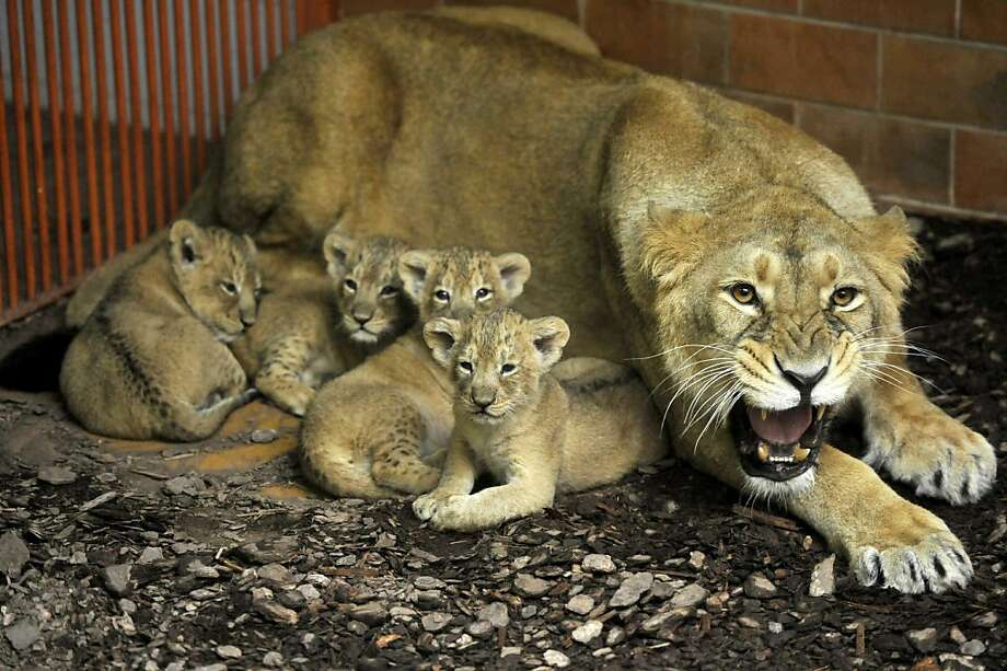 Don't mess with Momma: She has quite a temper. (Shirwane and her four cubs at the Zoo of Budapest.) Photo: Attila Kovacs, Associated Press