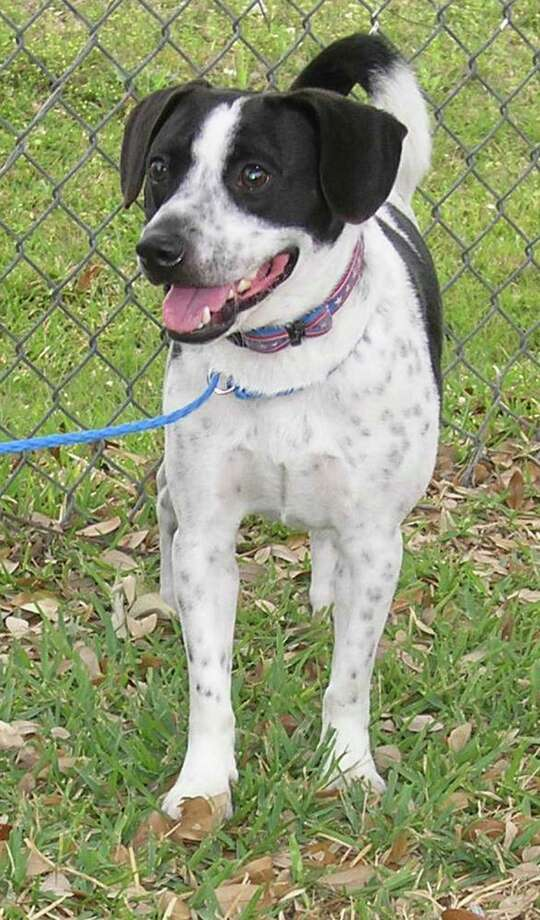 Cooper a 1.5 year old American Blue Heeler is the Pethouse Pet of the Week. OLYMPUS DIGITAL CAMERA Photo: --