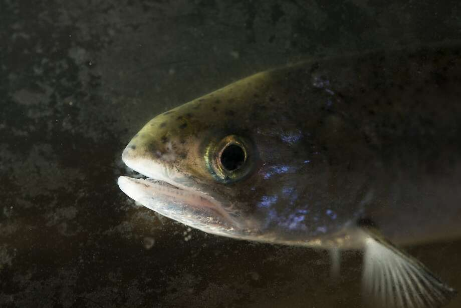 A chinook salmon swims in a tank at the Salmon Institute in Tiburon.