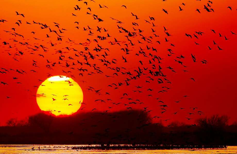 In this Wednesday, March 27, 2013 photo, Sandhill Cranes take off flying in to roost overnight along the Platte River near Gibbon, Neb. (AP Photo/The Wyoming Tribune Eagle, Blaine McCartney) Photo: Blaine McCartney, Associated Press