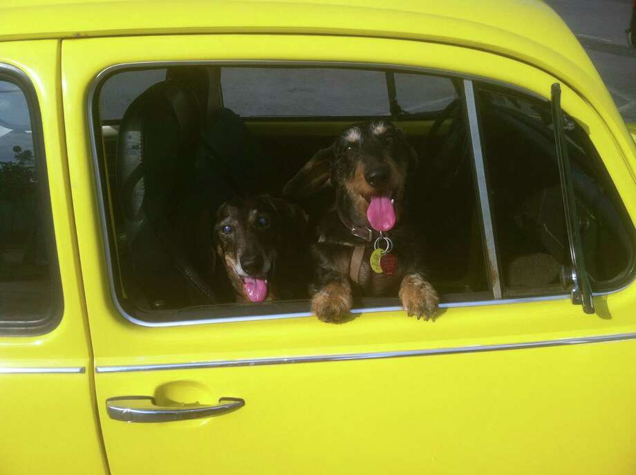 """Wirehaired dachshunds Rommie, left, who is 14, and Goodie, 8, hop into East Greenbush resident Robert Jansing?s car for a trip to Lickety Split. Goodie is a therapy dog who visits St. Margaret?s Center, Daughters of Sarah nursing home and the Poestenkill Library for their """"Wagging Tales"""" reading program. ?As you can see they both love ice cream,? Jansing notes. (Robert Jansing)"""