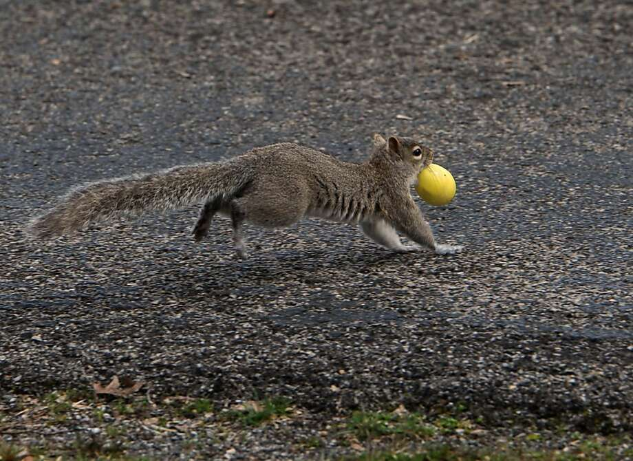 A squirrel runs away with an Easter egg during an egg hunt from the First General Baptist Church on Saturday, March 30, 2013 in Owensboro, Ky.  (AP Photo/The Messenger-Inquirer, Gary Emord-Netzley) Photo: Gary Emord-Netzley, Associated Press