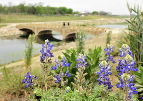 Bluebonnets bloom along the along a recently completed section of the Mission Reach near Padre Park Sunday morning, March 31, 2013. Photo: Robin Jerstad, For The San Antonio Express-News