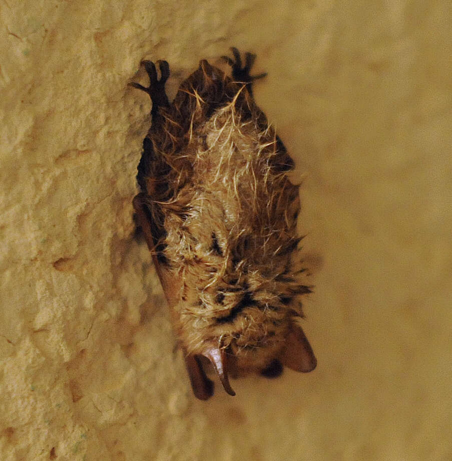 A bat rests on a wall in the Cave Without A Name near Boerne on Saturday, March, 2, 2013. Photo: Billy Calzada, San Antonio Express-News / San Antonio Express-News