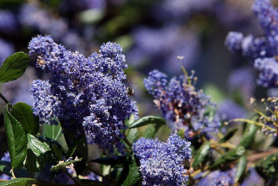 A native blooming Ceanothus tree in the Butt's backyard on March 21st, 2013 in Point Richmond, Calif. Shirley and Tom Butt's garden at their home in Point Richmond is one of the stops on the Bringing Back the Natives Garden Tour. Photo: Jessica Olthof, The Chronicle