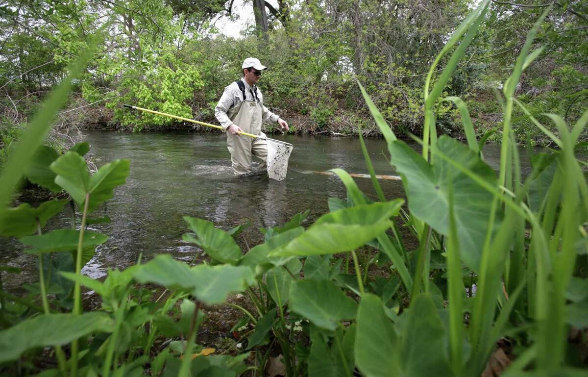 Ed Oborny from BIO-WEST searches for Fountain Darters, an endangered species, in the Comal River in New Braunfels. The group is involved in the removal of an island, 150-170 cubic yards of dirt and gravel, to help restore the endangered species habitat in the original channel of the Comal River. Wednesday March 27, 2013