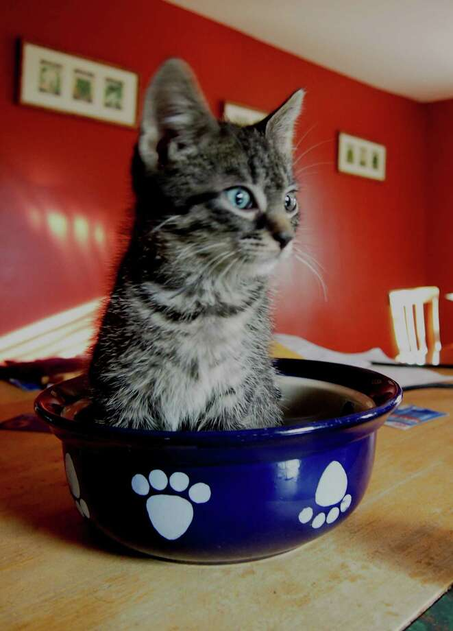Max relaxes in a dog food bowl at Justine Dalton's home. Max is among the cats that Dalton has fostered from the Mohawk Hudson Humane Society. (Justine Dalton)