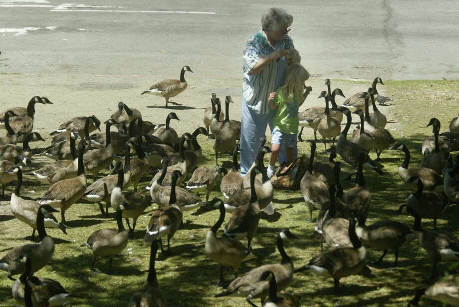 You like the Canada geese at Lake Merritt more... Photo: Mike Kepka, SFC / The Chronicle