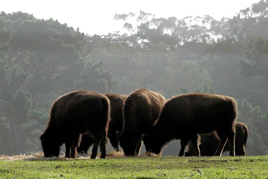 Know where the bison paddock is in Golden Gate  Park. Photo: Michael Macor, The Chronicle / ONLINE_YES