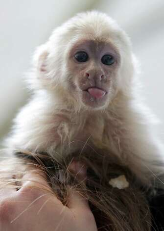 "Capuchin monkey 'Mally"" sits on the head of an employee in an animal  shelter in Munich, Germany, Tuesday, April 2, 2013. Canadian singer Justin Bieber had to leave the monkey last Thursday in quarantine after arriving in Munich without the necessary documents for the animal. (AP Photo/Matthias Schrader) Photo: Matthias Schrader, Associated Press / AP"