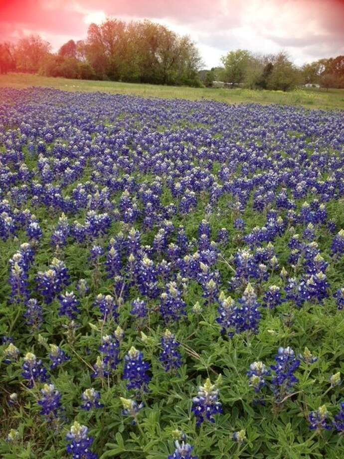Texas is home to some of the most beautiful flowers. See why we love these blue bonnets so much at houstonchronicle.com. In Brenham by Gwen Speiss. Photo: Reader Submission
