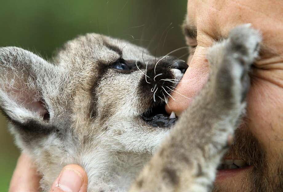 Cat nip: Hold Valentina the 2-month-old puma cub close to your face, and she will try to eat your nose. (Attica Zoological Park in Athens.) Photo: Thanassis Stavrakis, Associated Press