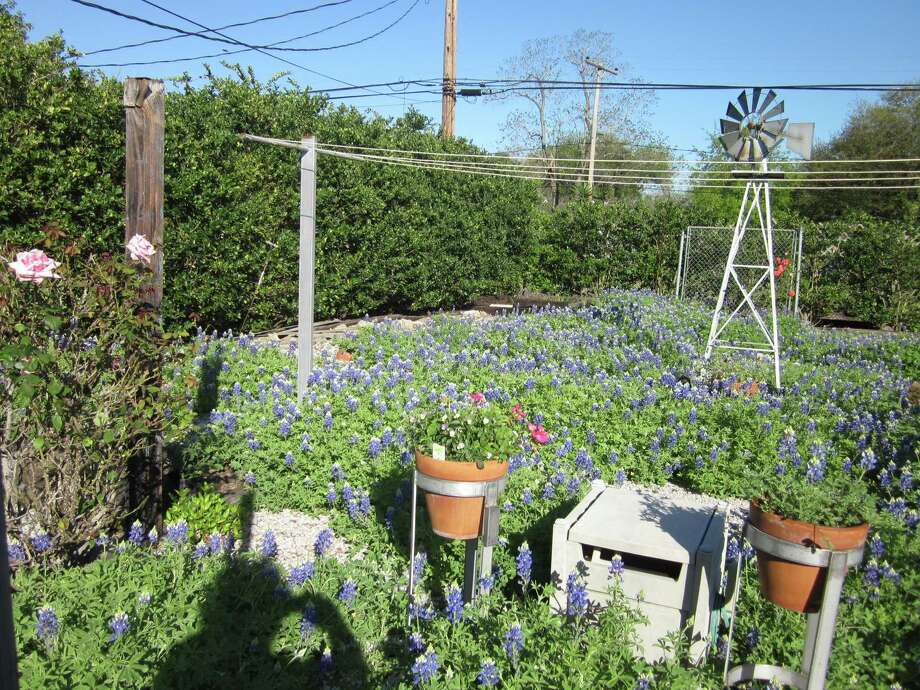 Anna Broussard's love for bluebonnets led her to broadcast seed in her Sharpstown backyard several years ago. This is the result. (Juanita Hood) Photo: Reader Submission
