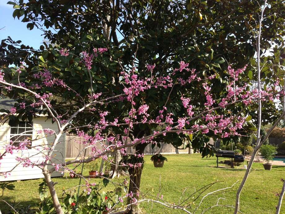 A redbud in bloom in Friendswood. (Ken Helmreich) Photo: Reader Submission