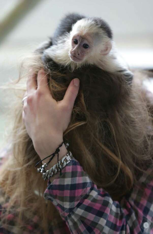 "Capuchin monkey 'Mally"" sits on the head of an employee in an animal  shelter in Munich, Germany, Tuesday, April 2, 2013. Canadian singer Justin Bieber had to leave the monkey last Thursday in quarantine after arriving in Munich without the necessary documents for the animal. (AP Photo/Matthias Schrader) Photo: Matthias Schrader"