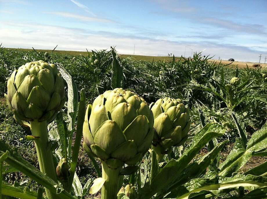Nearly all of the United States' commercial artichoke crop is grown in Monterey County, which is also responsible for almost two-thirds of the world's supply, according to Monterey tourism officials. Photo: Jeanne Cooper, SFGate