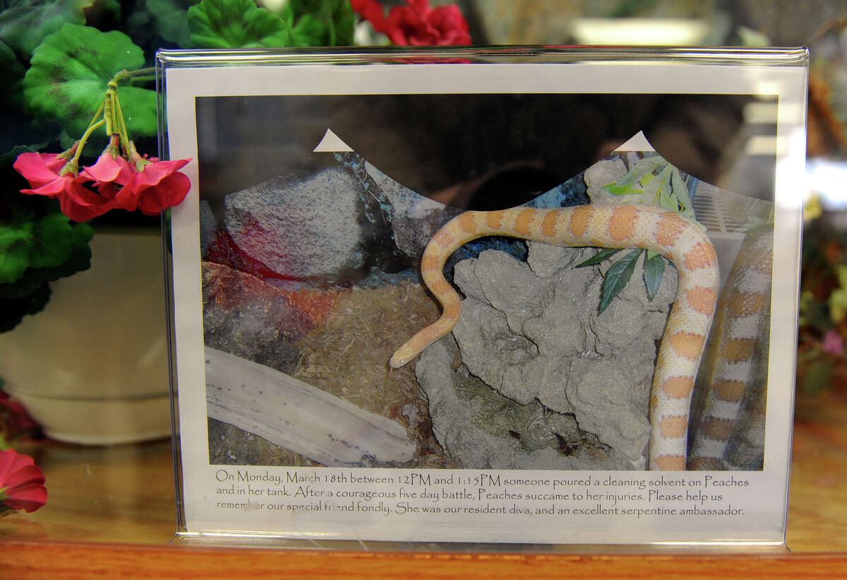 A photo of Peaches sits on display inside the tank where she lived for eight years at the Huntington Branch Library in Shelton, Conn. on Tuesday April 2, 2013. Peaches died recently after someone poured a cleaning solvent into her tank and onto her causing severe burns.