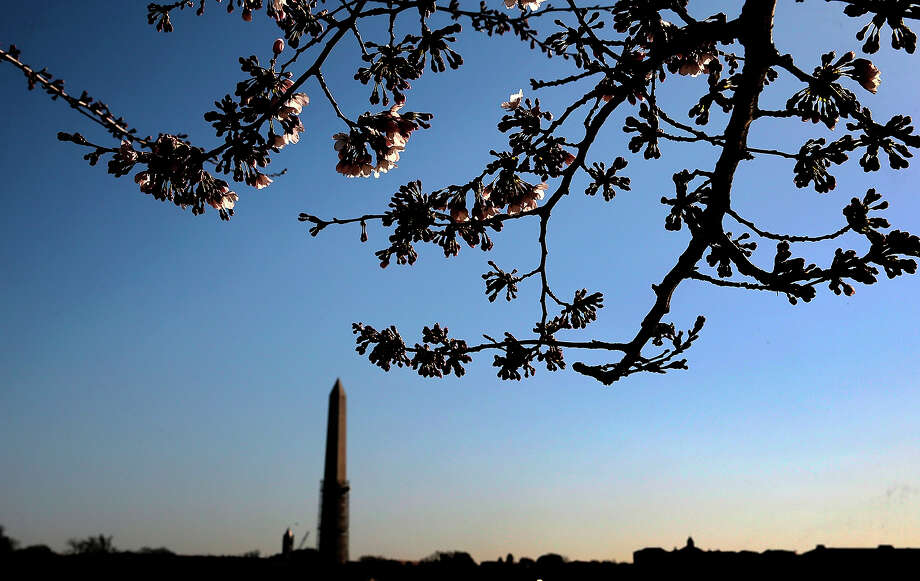 With the Washington Monument as a background, cherry blossoms slowly start to open around the Tidal Basin as a colder-than-normal March and chilly April has delayed the beginning of the cherry blossom season in the nation's capital April 3, 2013 in Washington, DC. Peak bloom was originally predicted between March 26 and March 30, with the revised prediction moving to April 6-10. Photo: Win McNamee, Getty Images / 2013 Getty Images