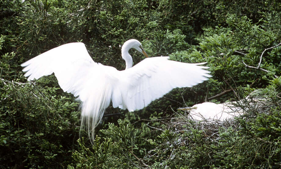 An egret with aigrettes on full display presents a stick to a female at Audubon Canyon Ranch's Martin Preserve.