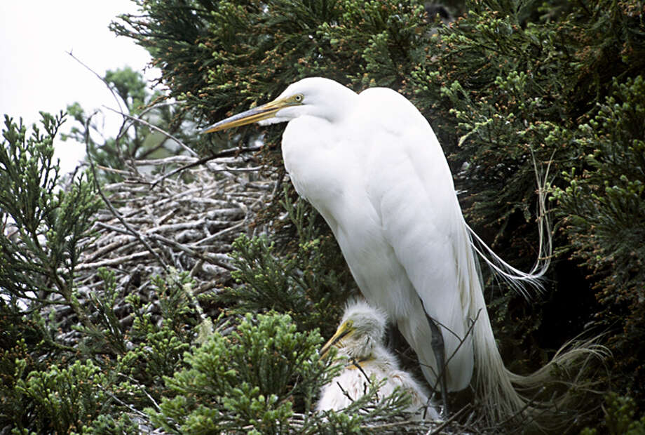 An older but still fuzzy egret chick hunkers down in the nest at Audubon Canyon Ranch's Martin Griffin Preserve.
