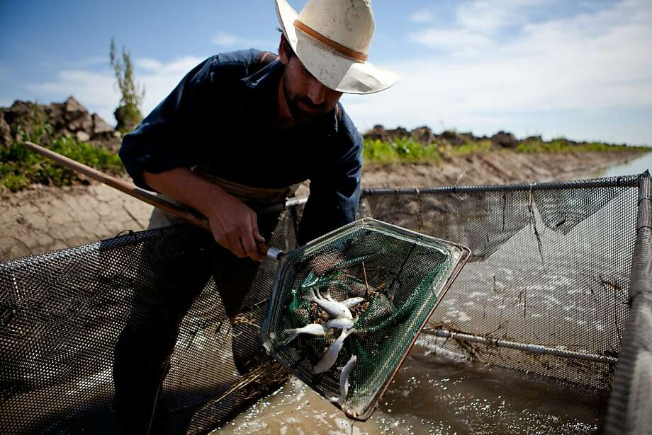 Jacob Katz of CalTrout catches and counts juvenile chinook salmon in a rice field on Knaggs Ranch near the Sacramento River's Yolo Bypass in an experiment with UC Davis and state Department of Water Resources. Photo: Max Whittaker/Prime, Special To The Chronicle