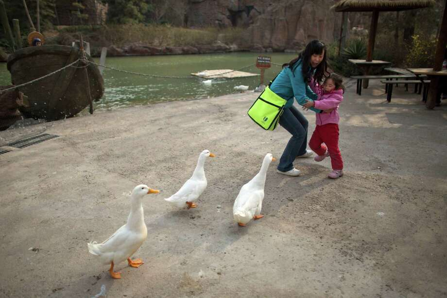 A woman and her daughter are frightened while ducks approach closely for food at an amusement park in Beijing, China, Wednesday, April 3, 2013. Scientists taking a first look at the genetics of the bird flu strain that recently killed two men in China said Wednesday the virus could be harder to track than its better-known cousin H5N1 because it might be able to spread silently among poultry without notice. The bird virus also seems to have adapted to be able to be able to sicken mammals like pigs. (AP Photo/Alexander F. Yuan) Photo: Alexander F. Yuan