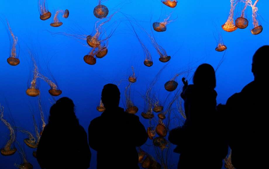 ... massive \'\'Jellies Experience\'\' exhibit at the Monterey Bay Aquarium in California.